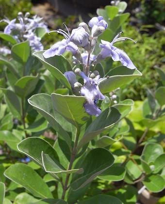 Vitexrotundifolia1