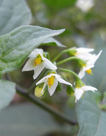 Solanumnigrum10