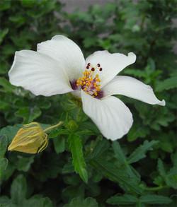 Hibiscustrionum2