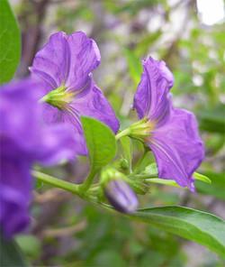 Solanumrantonnetii10