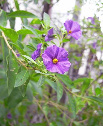 Solanumrantonnetii8