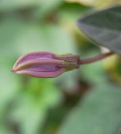Cleomerutidosperma4