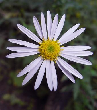 Asteriinumae1