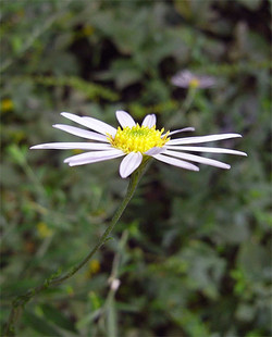 Asteriinumae2