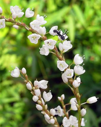 Persicariajaponica1
