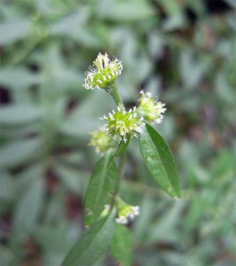 Rhynchospermumverticillatum1