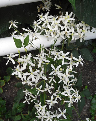Clematisterniflora11
