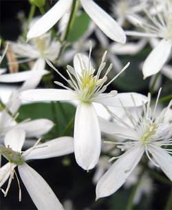 Clematisterniflora12