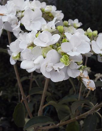 Viburnumcarlesii1