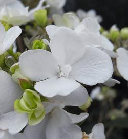 Viburnumcarlesii2