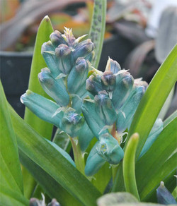 Lachenaliaviridiflora4