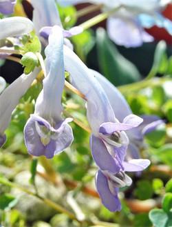 Corydalislineariloba10