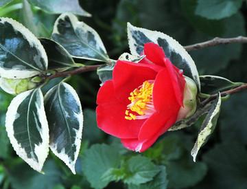 Camelliayae1