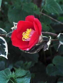 Camelliayae2