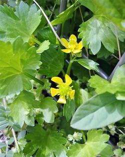 Ranunculusmuricatus3