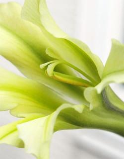 Gladiolustristisconcolor4