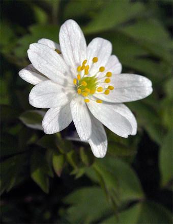 Anemorosabracteatapleniflora1