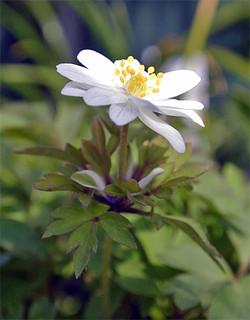 Anemorosabracteatapleniflora2