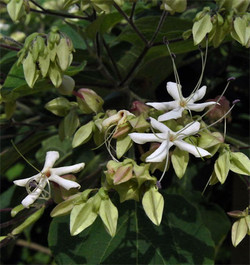 Clerodendrontrichotomum12