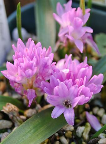 Polyxenapaucifolia5