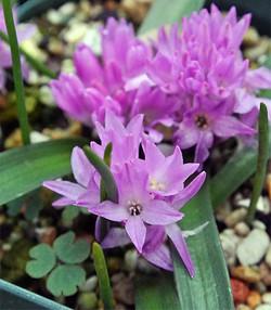 Polyxenapaucifolia7