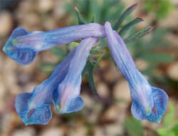 Corydaliscashmeriana7