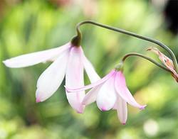 Acistrichophylla5