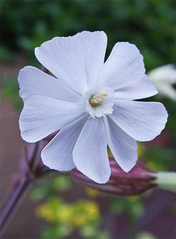 Silenelatifolia2