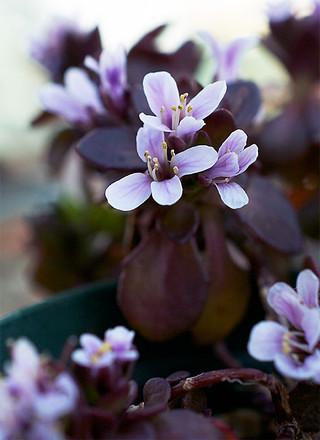 Thlaspirotundifolium1