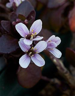 Thlaspirotundifolium2