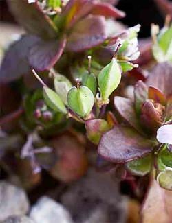 Thlaspirotundifolium3