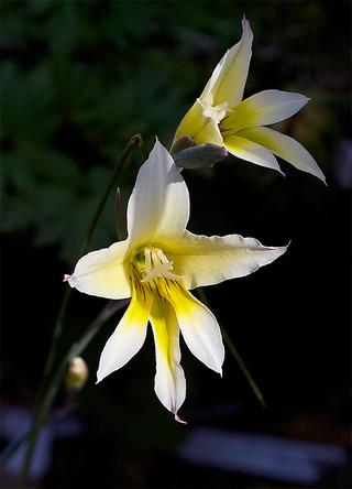 Gladiolustrichomenifolius1