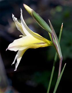 Gladiolustrichomenifolius3