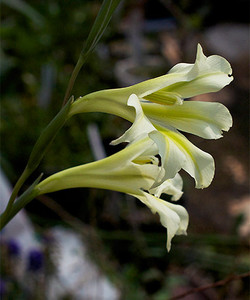 Gladiolustristisconcoro2