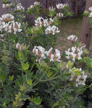 Lotusbrimstone1_2