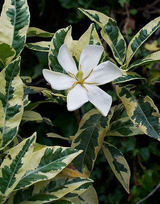 Gardeniajasminoides3