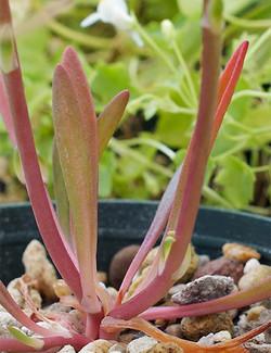 Loppositifolia3