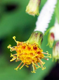 Arnicamallatopus
