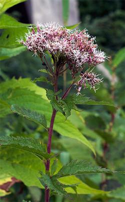 Eupatoriumlindleyanum