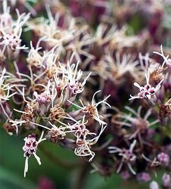 Eupatoriumlindleyanum_3