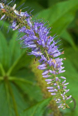 Veronicastrumjaponicum1