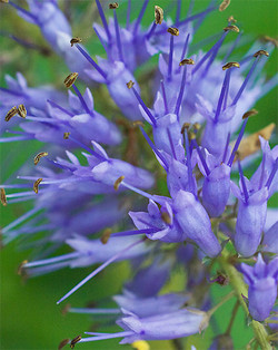 Veronicastrumjaponicum2