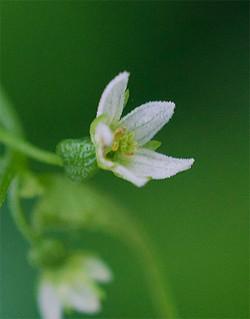 Zehneriajaponica2