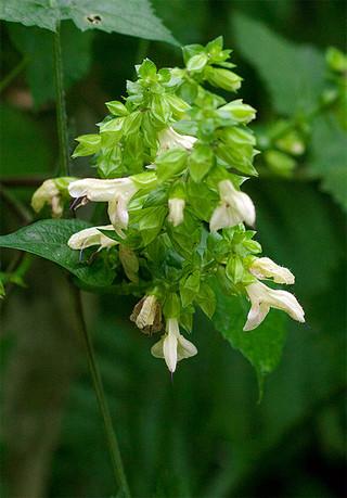 Salvianipponica1