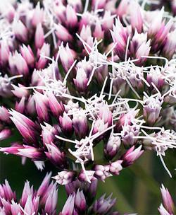 Eupatoriumlindleyanum10