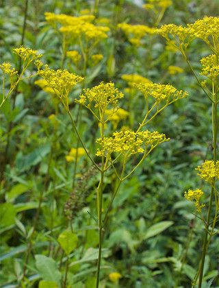 Patriniascabiosifolia1