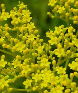 Patriniascabiosifolia2