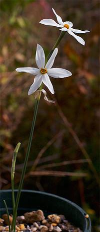 Narcissusserotinus4