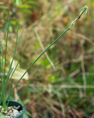 Narcissusviridiflorus1