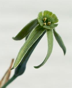 Narcissusviridiflorus2